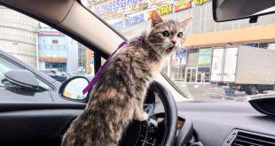 Кот в машине: как правильно перевезти и не навредить?